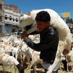 Hari Raya Haji Sheep for Sacrifice : Credit to Ibtimes